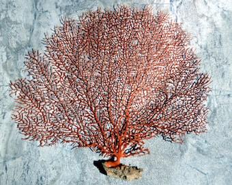 "Red Sea Fan (10-12"") - Echinogorgia SP"
