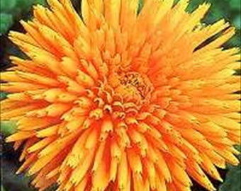 Marigold Calendula Radio * Heirloom~Quilted!! 25 Seeds ... seeds galore
