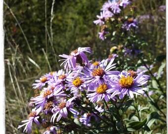 Aster amellus 'European Michaelmas-daisy' [Wild Form] 50 SEEDS