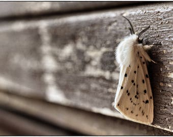 Grace, Fine art photography of a peppered moth