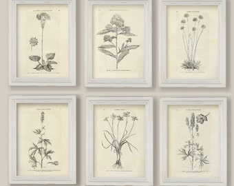 Set Of 6 Botanical Sepia Black and White Flowers Illustrations Sketches Drawings Prints A4 or 5x7