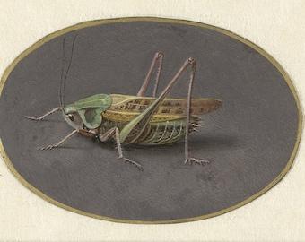 Jan Augustin van der Goes: Grasshopper. Fine Art Print/Poster. (004068)