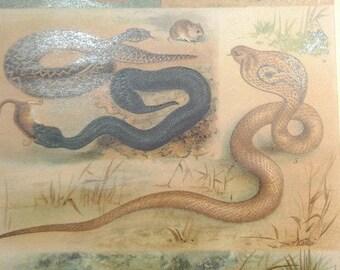 """Chromolithograph """"poisonous snakes"""