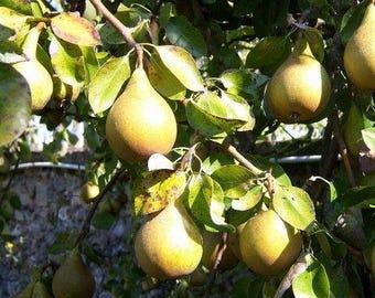 European Pear Tree Seeds (Pyrus communis) 15+Seeds