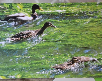 Family of Ducks and Ducklings learning to feed, Greetings Card, Photographed on a walk by the River Rother.
