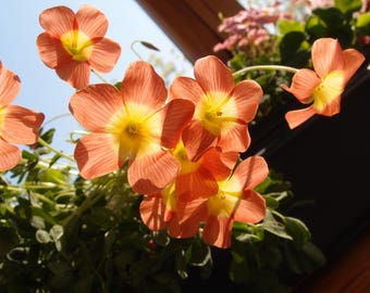 Oxalis obtusa Coopery Orange flowering size bulb