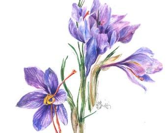 Botanical watercolor CROCUS SATIVA