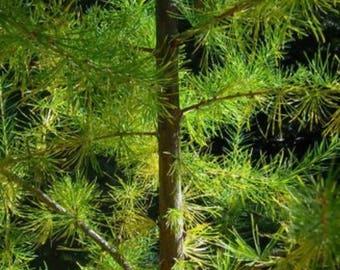 European larch etsy 25 european larch tree pine pinetree evergreen larix decidua seeds sciox Image collections