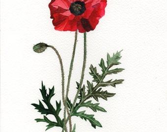 Papaver rhoeas, Poppy flower, Mak - botanical illustration 18x24cm