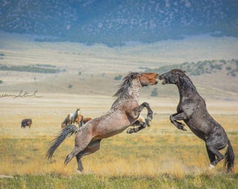 Wild Stallion Fight