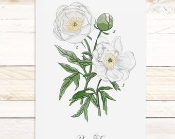 Peony Study - White - Watercolor Botanical wall hanging, wood trim art. Scientific Canvas Posters Chart | More Options