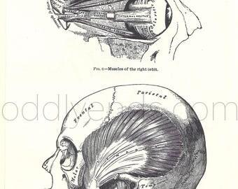 1970's Skull Human Anatomy Original Vintage Print