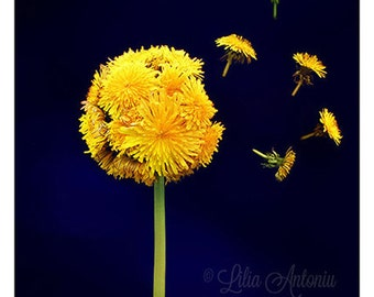 Fine art photography Still Life Wall decor Dandelion Wall art Summer Flowers Creative Idea Minimalist Yellow Navy Color Unusual Fine print