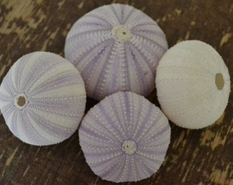 Purple Sea Urchins 2-3 inches | 4 Pieces