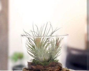 Rope Glass Terrarium with Live Air Plant - 5.5 x 5.5 x 6 in