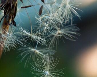 Tangled. Dandelion. Macro flower photography. Wall decor.