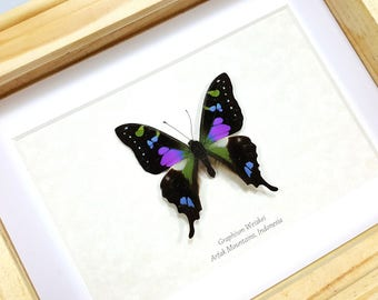 FREE SHIPPING Framed Real Graphium Weiskei Purple Spotted Swallowtail Taxidermy High Quality A1-