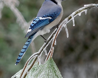 Bluejay on Icy Pine