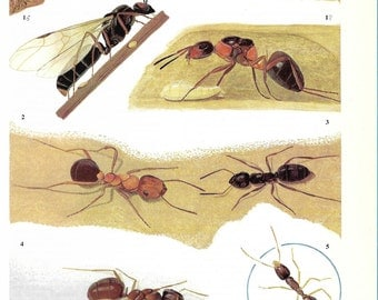 Vintage Insects Coloured Book Plate -  Ants -  Ideal For Framing # 153