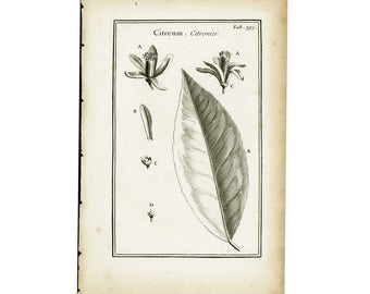 1797 Antique Lemon Tree Print Citrus Flower Leaf Botanical Natural History Wall Home Decor
