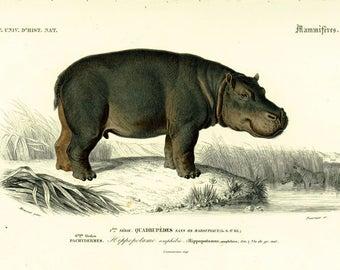 """Shop """"hippopotamus"""" in Prints"""