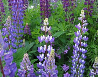 100+ Blue Lupine Flower Seeds- Perennial Wildflower