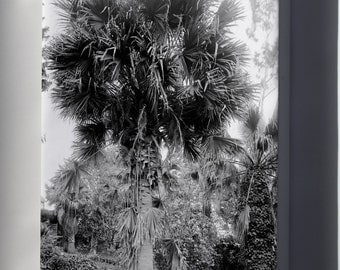 Canvas 24x36; A Big Palm Tree In A Los Angeles Park, Ca.1920 (-2382)