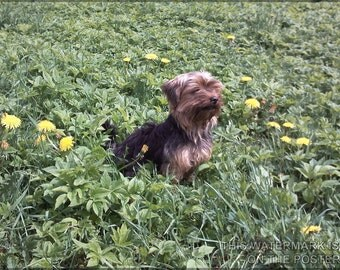 16x24 Poster; Yorkshire Terrier P2