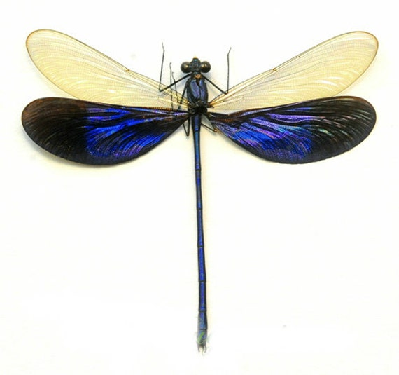 Supplies for your artworks - dried insects - :  5 pcs Neurobasis kaupi pavo Odonata A1  already spread !!