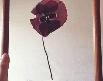 Pressed Wild Poppy Herbarium Art- Floating Framed Botanical Art 8x10 - Etched Scientific Name - Floating Framed Floral Art- Etched Glass-