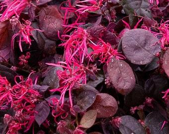Loropetalum Live Plant + Free Gift Plant/Cutting Vine for Landscaping Chinese Fringe Flower