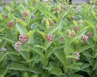 2000 Common Milkweed seeds. Chemical free.