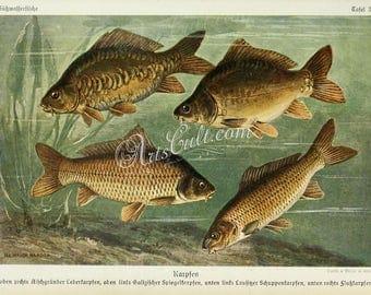 fishes-01161 - Common Carp, European carp, Cyprinus carpio vintage printable image picture graphics illustration book page paper artwork jpg