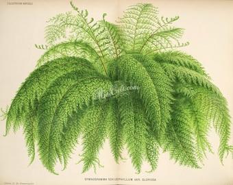 plants-21157 - gymnogramma schizophyllum gloriosa ferns fern vintage printable botanical picture old book page illustration clipart print