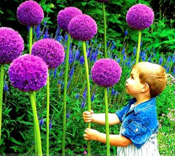 50 Seeds rare Heirloom Allium Giganteum Giant Onion with Purple Flower Seeds garden