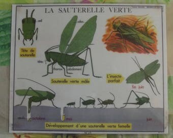 Wall decoration, Set of Table 42 x 30 cm Table Art trend insect, a green grasshopper, larva, the insect real evolution