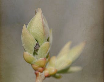 "Fine Art Photograph, Still Life, Botanical Print, Lilac, Bud, Wall Art, Flower, Home Decor - ""Lilac To Be"""