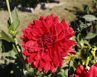 Red Flower, Red Dahlia, Dahlia Photo, Flower Print, Flower Photo, Photo on Wood, Wood Print, Flower Wall Decor, Nature Photo, Wood Decor