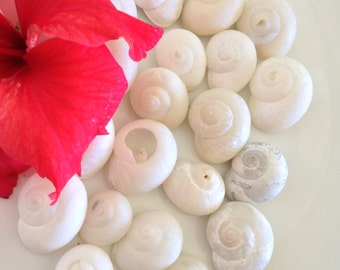 Caribbean Milk Moon Shells, Sea Shells, Bulk Shells, Wedding Shells, Craft Supplies, Nautical,Caribbean Milk,Beach Wedding Decor,Vase Filler