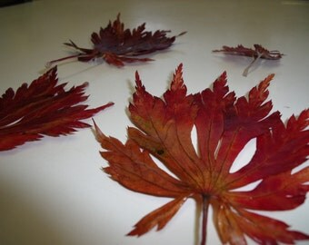"""15 Dried Autumn Leaves """"Downy Japanese Maple"""" Preserved by Me"""
