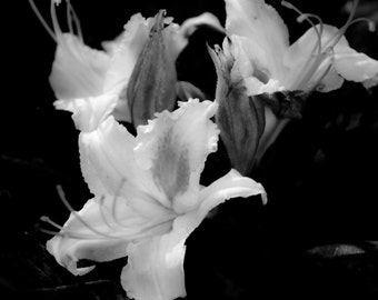 Lily flower black and white photograph