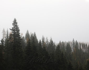 Fog And Evergreens