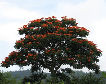300  Spathodea campanulata Seeds, African Tulip Tree, Flame of The Forest, Fountain Tree,