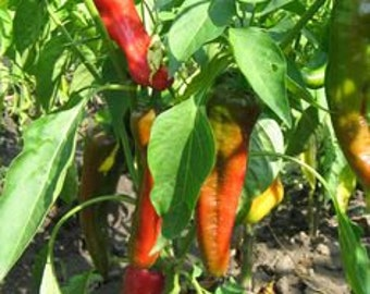 30 Organic Hot Pepper Seeds, Non-GMO, '' New Mexico Joe Parker Pepper''