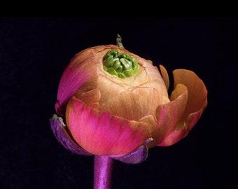Ranunculus Photography, Still life, Flower Photography, Floral, Wall Art, Fine Art Photography, Hahnemühle, FineArt Pearl, 285 g, 210x297 mm