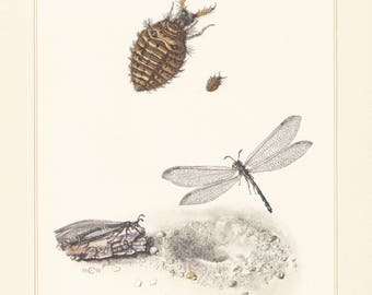 Vintage lithograph of the antlion, myrmeleon formicarius from 1956