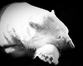 Sleeping Polar Bear BW