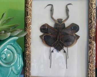 Female Bark Mantis