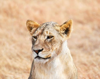Lioness Thinking of Food