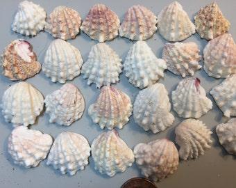 Lot 185 Tiny spiny jewel box shells 24 pc. weddings collage mosaics jewelry wreaths nautical